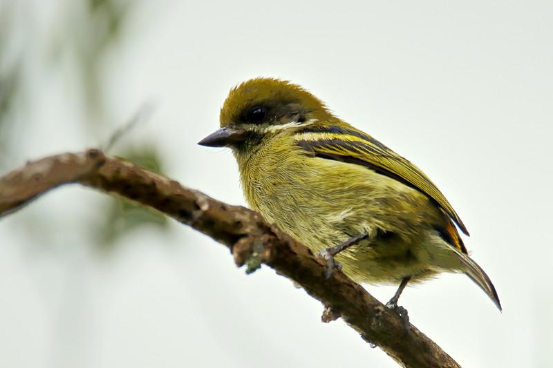 Moustached Tinkerbird (Pogoniulus leucomystax)