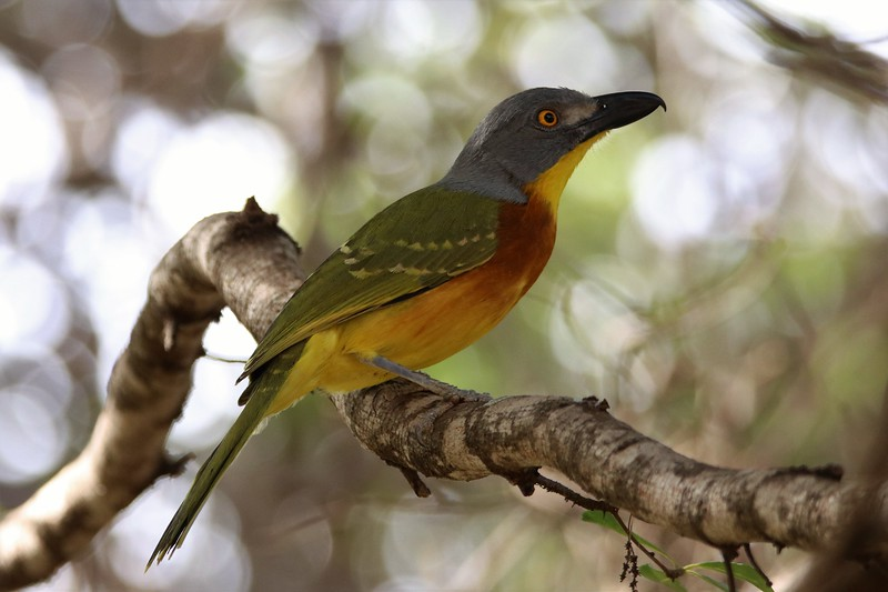Grey-headed Bush-shrike (Malaconotus blanchoti)