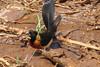 Long-tailed Paradise-whydah (Vidua paradisaea)