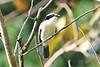 Bocage's Bushshrike (Telophorus bocage)