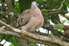 Emerald-spotted Wood-Dove (Turtur chalcospilos)