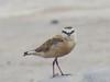 White-fronted Plover (Charadrius marginatus)