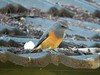 Little Rock-thrush (Monticola rufocinereus)