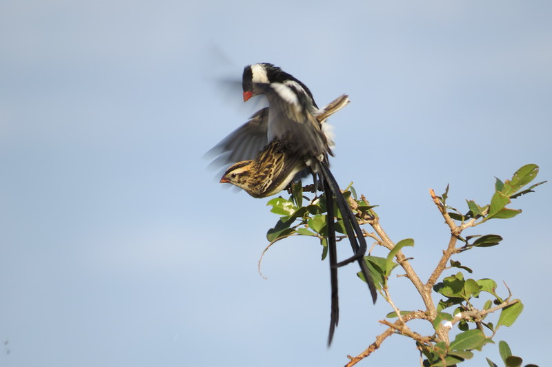 Pin-tailed Whydah (Vidua macroura)