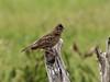 Horsfield's Bushlark or Singing Bush-lark (Mirafra javanica)