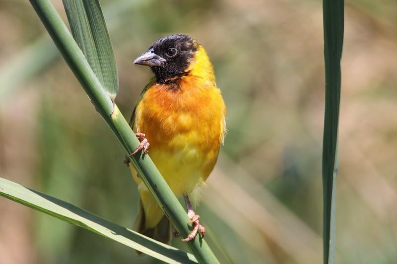 Yellow-backed Weaver (Ploceus melanocephalus)