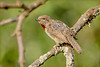 Red-throated Wryneck (Rufous-necked) (Jynx ruficollis ruficollis)