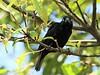 Vieillot's Black Weaver (Ploceus nigerrimus)