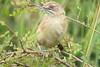 Moustached Grass-warbler (Melocichila mentalis)