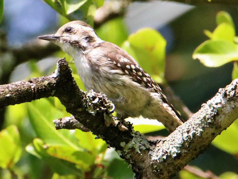 Brown-backed Woodpecker (Dendropicos obsoletus)