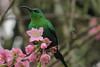 Malachite Sunbird (Nectarinia formosa)
