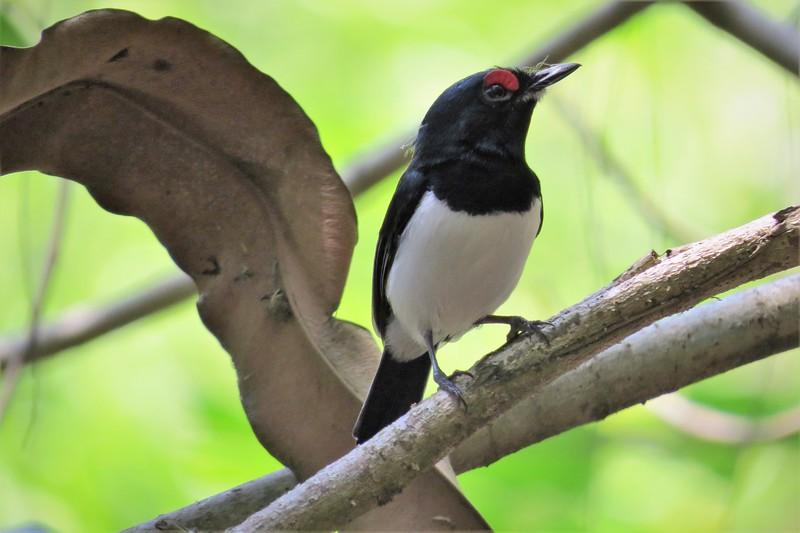 Black-throated Wattle-eye (Platysteira peltata)