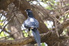 Bristle-crowned Starling (Onychognathus salvadorii)
