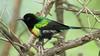 Beautiful Sunbird (Cynnyrus pulchellus)