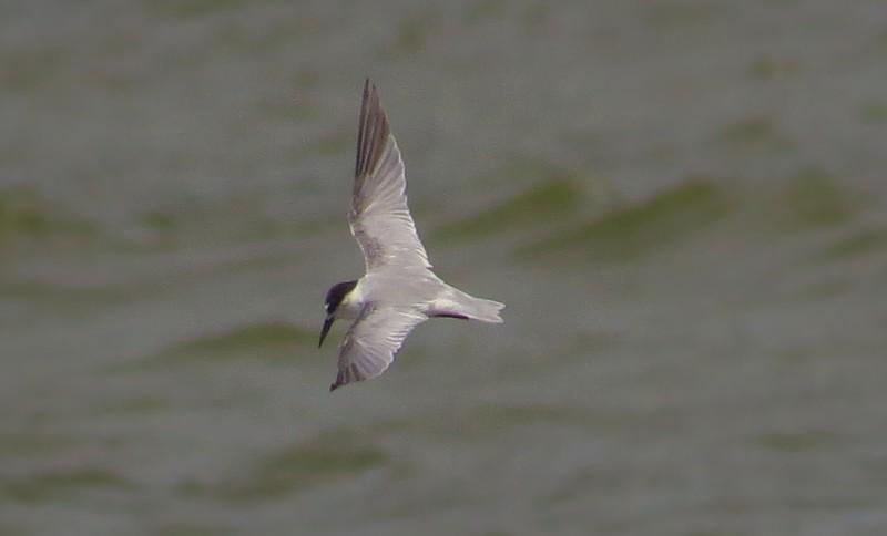 Saunders's Tern (Sternula saundersi)