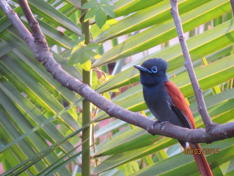African Paradise-flycatcher (Terpsiphone viridis)
