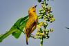 Slender-billed Weaver (Ploceus pelzelni)
