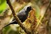 Grey-headed Negrofinch (Nigrita canicapillu)
