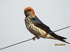 Lesser Striped Swallow (Cecropis abyssinica)