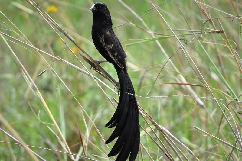 Jackson's Widowbird (Euplectes jacksoni)