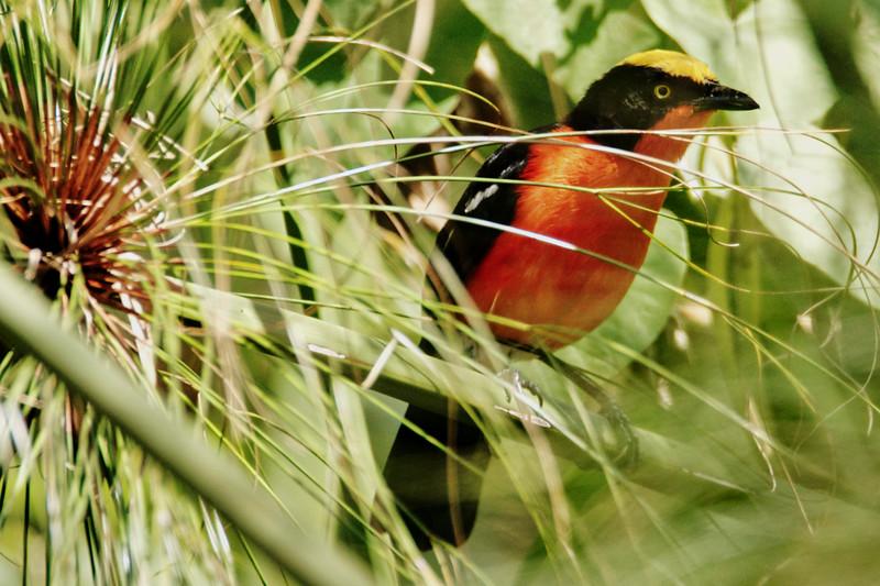 Papyrus Gonolek (Laniarius mufumbiri)