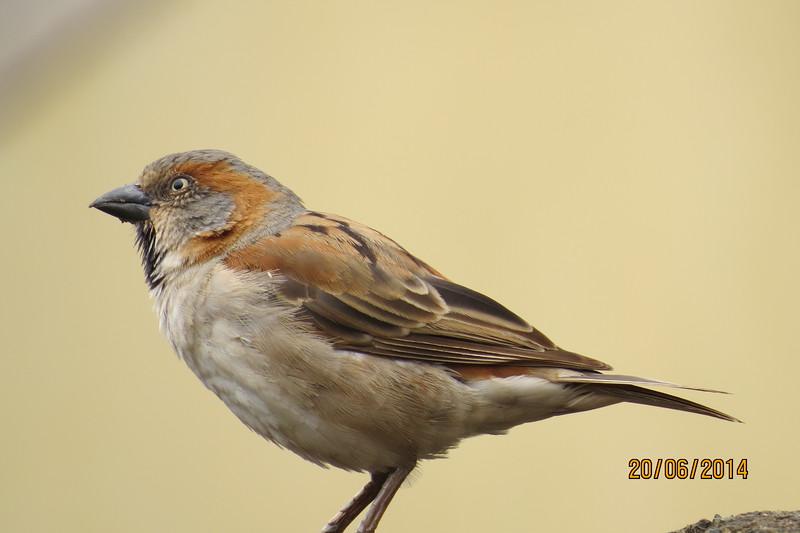 Kenya Rufous Sparrow (Passer rufocinctus)