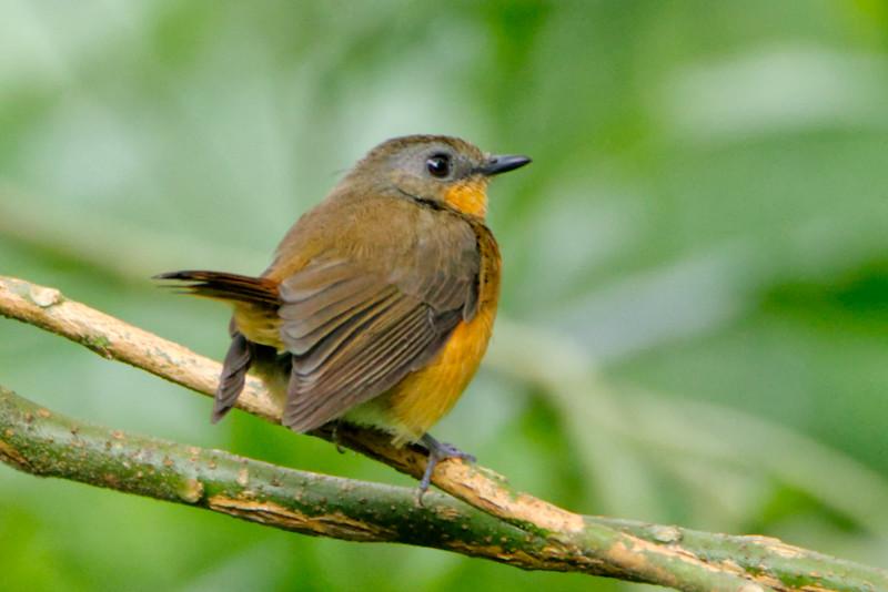 Equatorial Akalat (Sheppardia aequatorialis)