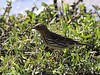 Red-throated Pipit (Anthus cervinus)