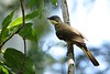Yellow-throated Leaflove (Atimastillas flavicollis)