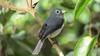 White-eyed Slaty-flycatcher (Melaenornis fishceri)