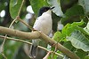 Black-backed Puffback (Dryoscopus cubla)