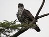 Ayres's Hawk-eagle (Hieraaetus ayresii)