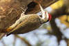 Bearded Woodpecker (dendropicos namaquas)