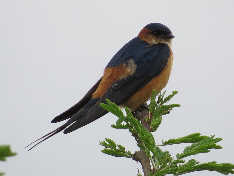 Red-rumped Swallow (Cecropis daurica)