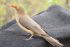 Red-billed Oxpecker (Buphagus erythrorhynchus)