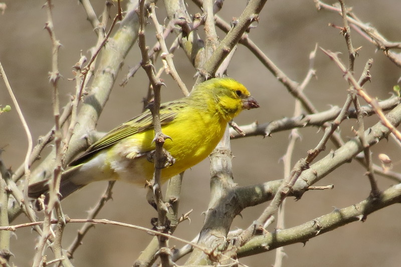 White-bellied Canary (Serinus dorsostriatus)