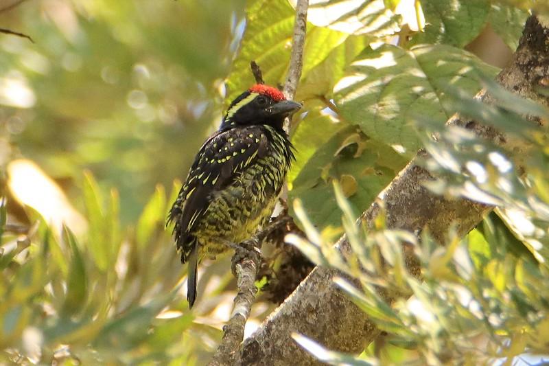 Yellow-spotted Barbet (Buccanodon duchaillui)