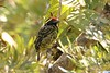 Yellow-spotted Barbet (Buccanodon duchaillui)
