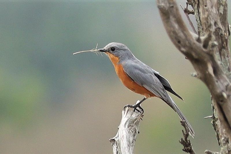 Silverbird (Melaenornis semipartitus)