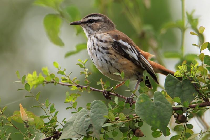 Red-backed Scrub-robin (erythropygia leucophrys)