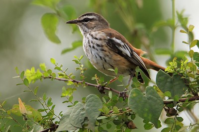 Old World Flycatchers (Muscicapidae)