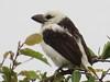 White-headed Barbet (Lybius leucocephalus)