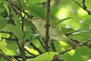 Uganda Woodland-Warbler (Phylloscopus budongoensis)