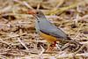 Bare-eyed Thrush (Turdus tephronotus)