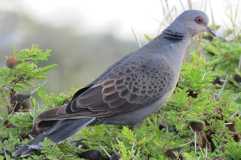 Dusky Turtle-Dove (Streptopelia lugens)