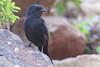 Southern Black-flycatcher (Melaenornis pammelaina)