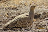 Chestnut-bellied Sandgrouse (Pterocles exustus)