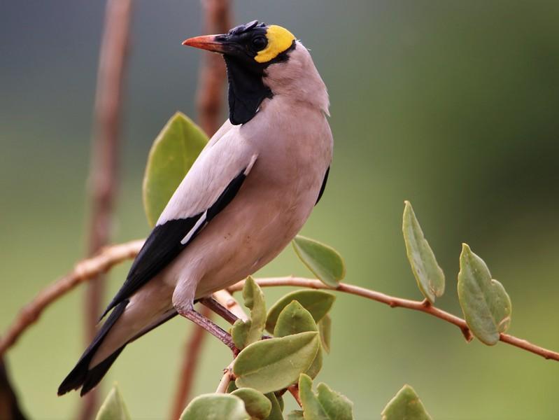 Wattled Starling (Creatophora cinerea)
