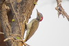 Nubian woodpecker (Campethera nubica)