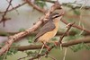 Northern Crombec (Sylvietta whytii jacksoni)